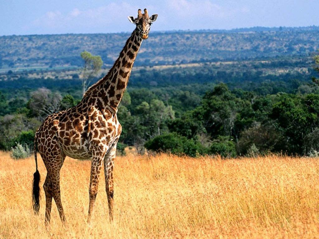 Giraffa (1024x768 - 176 KB)