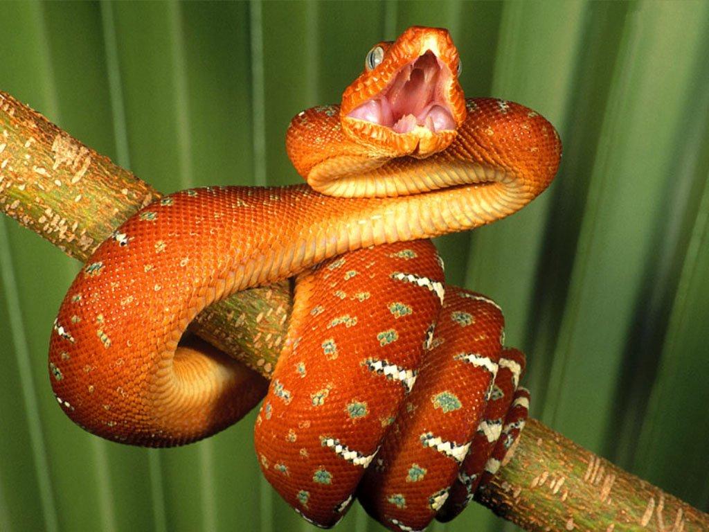 Serpente rosso (1024x768 - 145 KB)