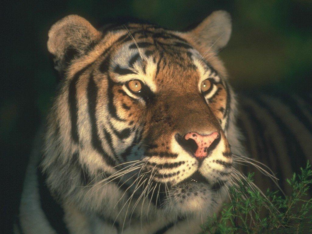 Tigre (1024x768 - 133 KB)