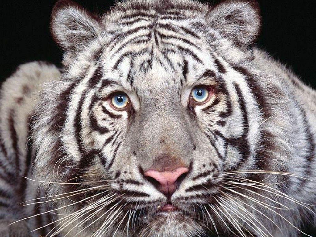 Tigre bianca (1024x768 - 319 KB)