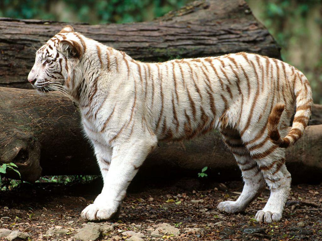 Tigre bianca (1024x768 - 258 KB)