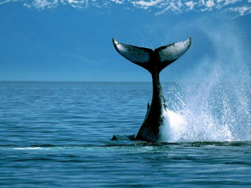 Balena (800x600 - 80 KB)