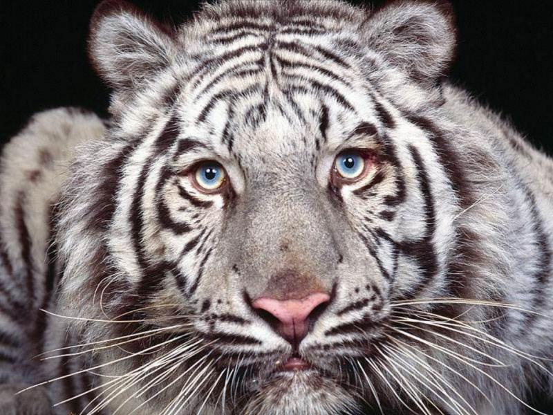 Tigre bianca (800x600 - 198 KB)