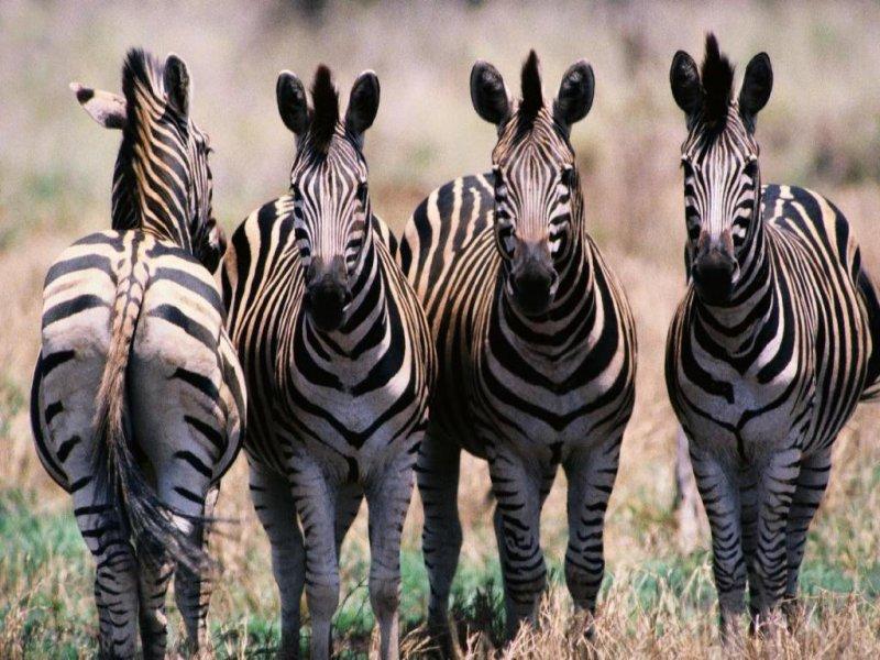 Zebre (800x600 - 119 KB)