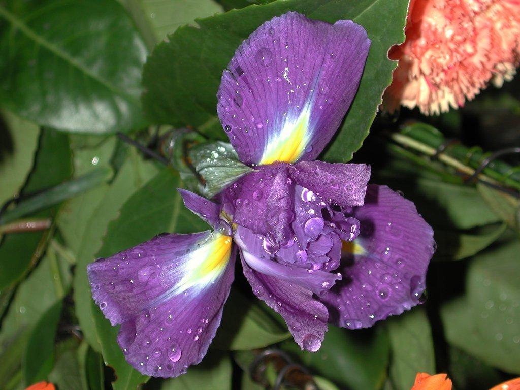 Iris (1024x768 - 128 KB)