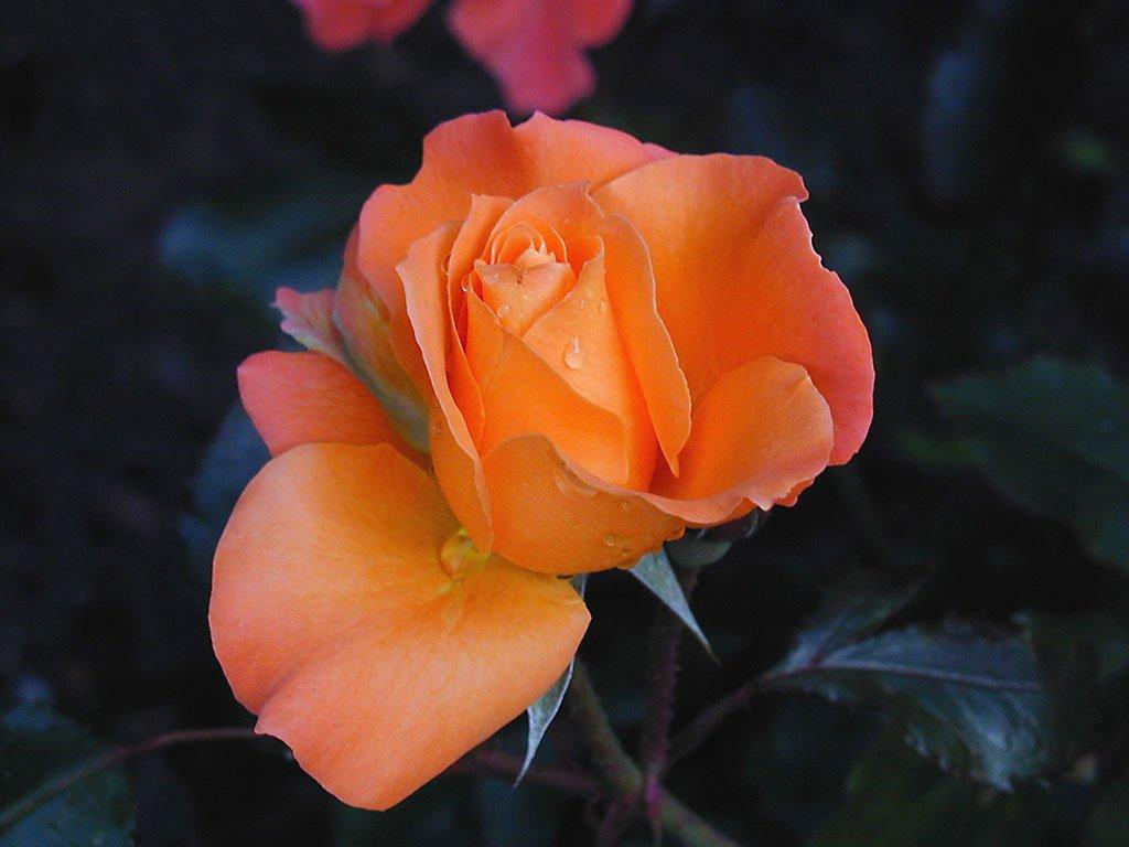 Rosa (1024x768 - 80 KB)
