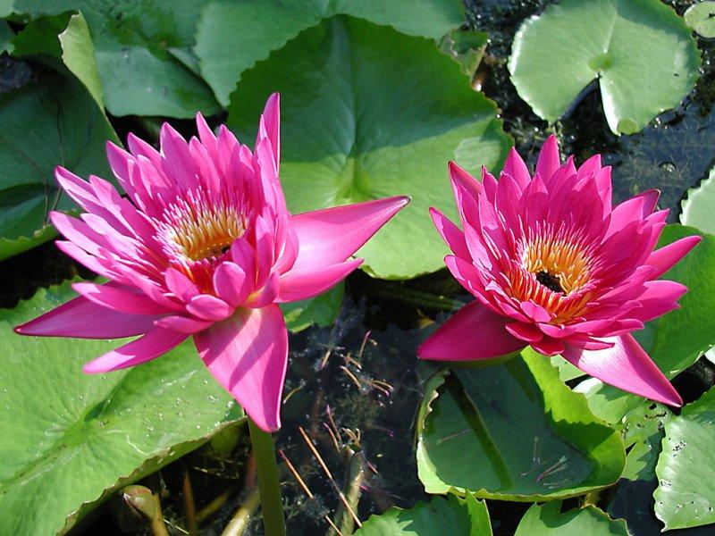 Fiore di loto (800x600 - 114 KB)