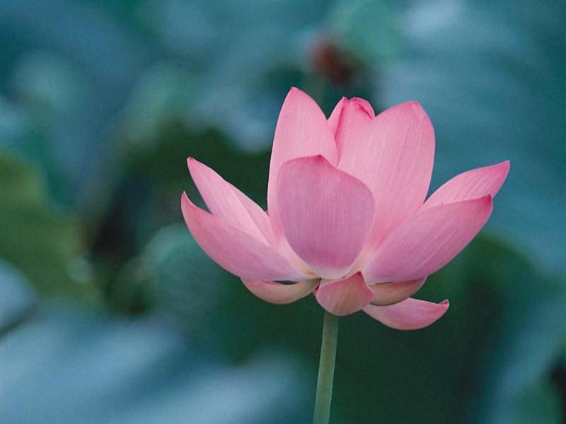 Fiore di loto (800x600 - 91 KB)