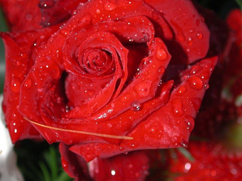Rosa (800x600 - 77 KB)