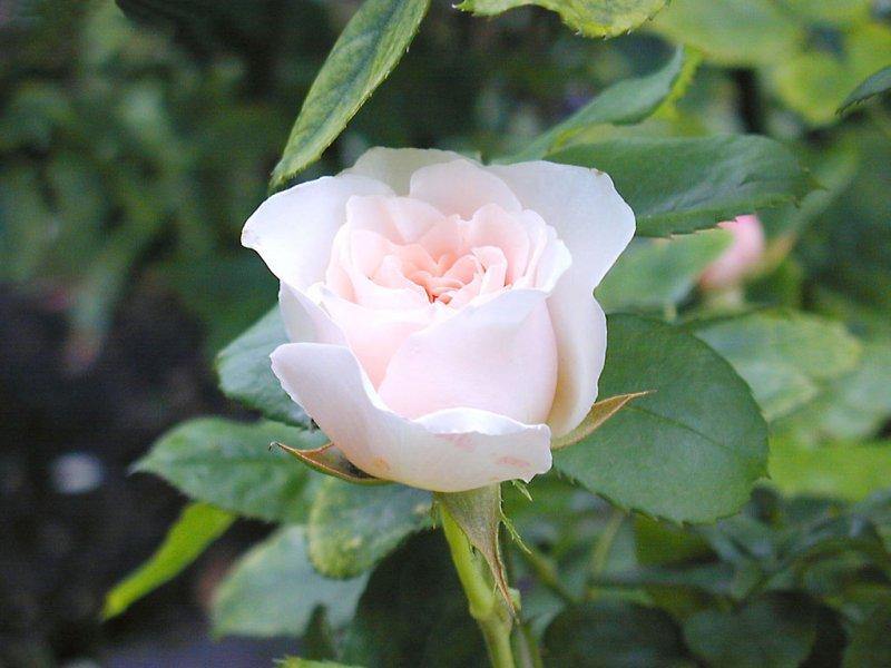 Rosa (800x600 - 66 KB)