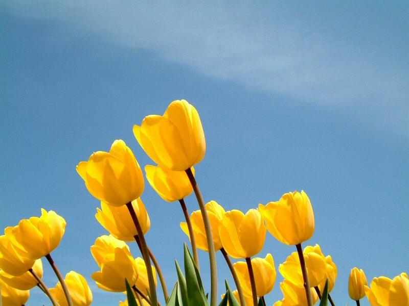 Tulipani gialli (800x600 - 121 KB)